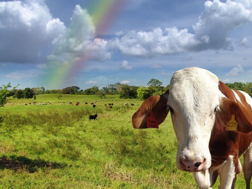 rainbow and cow